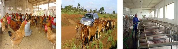 Chăn nuôi súc vật nguyên nhân của dịch bệnh và góp phần gây thảm họa